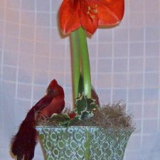 holiday-amaryllis-1323464619-jpg