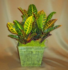 Croton Plant finished with Green Moss and Deco Container