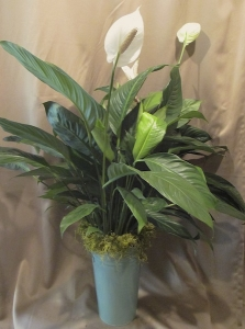 4' Spathiphyllum finished with Green Moss and a Deco Tin