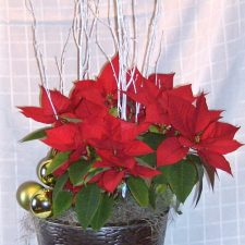 8-poinsettias-dressed-1323468070-jpg