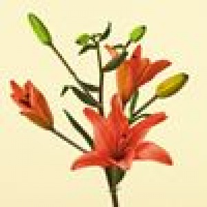 Lily, Asiatic